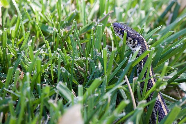 Wąż w trawie