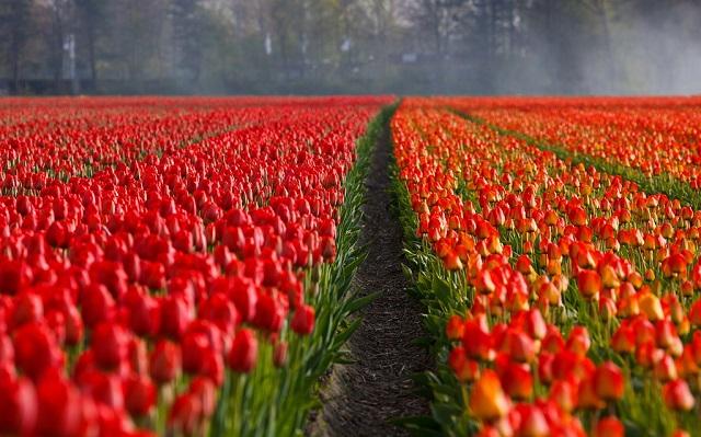 Holandia - pole tulipanów