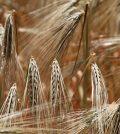 Kłosy zbóż
